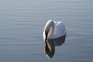 swan-1282835_960_720